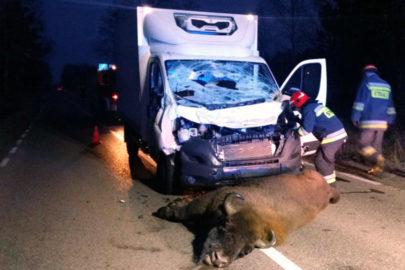 Peugeot Boxer potrącił żubra pod Hajnówką – zwierzę nie przeżyło