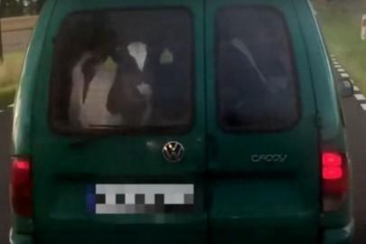 Wiózł trzy cielaki w Volkswagenie Caddy Typ 9K